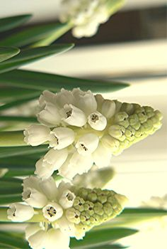 vita pärlhyacinter