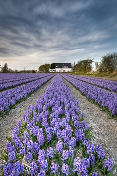 Lavender field in Lisse, Netherlands  http://www.flickr.com/photos/bslmmrs/4534099248/