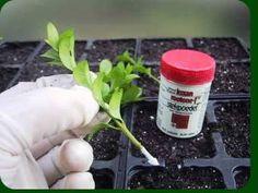 Website over: Hoe Buxus stekken? Buxus, Hoe, Website, Garden Ideas, Fans, Gardening, Quotes, Quotations, Lawn And Garden