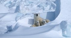 Mother and Cubs  Nutritional stress in polar bears can affect their reproductive success.