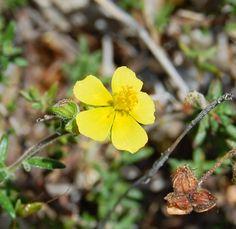 Flora da Serra da Arrábida: Fumana thymifolia