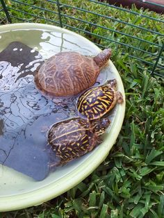 I have seen numerous suggestions for Russian tortoise diet Some great Some awful. Russian Tortoises are nibblers and appreciate broad leaf plants. Kinds Of Turtles, Box Turtles, Cute Turtles, Snake Turtle, Turtle Love, Sea Turtle Wallpaper, Kawaii Turtle, Tortoise Care, Russian Tortoise