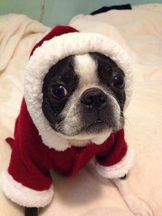 Lola Mae waiting for Santa. She is not liking the hood!
