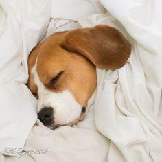 My Beagle having a little snuggle