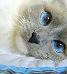 Blue eyed kitty.  I wish my eyes were this beautiful!