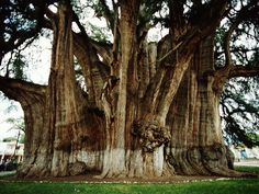 Tule tree in Mexico has the stoutest trunk in the world