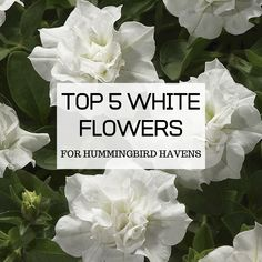 Find out what the 5 best white flowers are for attracting hummingbirds to your yard, and learn how to properly grow them to maximize their potential. Attracting Hummingbirds, How To Attract Hummingbirds, White Flowering Plants, Ivy Geraniums, Sun Parasol, Hummingbird Flowers, Petunias, White Flowers, Planting Flowers