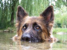Lissy vom Klopferle Deutscher Schäferhund.  German Shepherd Dog out for a swim in the water by VonMartin Grünvogel.
