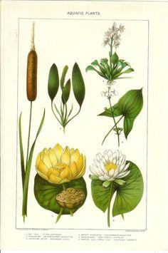1903 Botany Print - Aquatic Plants