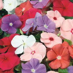 Vinca (Catharanthus roseus)   My Garden Life Periwinkle Plant, Periwinkle Flowers, Flora Flowers, Tropical Garden, Summer Garden, Identify Plant, Drought Tolerant Plants, Garden Pots, Balcony Garden
