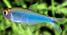 Knodus borki : Tétra bleu du Pérou. Attention de bien le distinguer de certaines autres espèces très proches comme B. fredcochui.