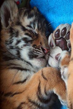 Little sleeping tiger cub. Pretty Cats, Beautiful Cats, Animals Beautiful, Cute Cats, Cute Tiger Cubs, Cute Tigers, Cute Baby Animals, Animals And Pets, Funny Animals