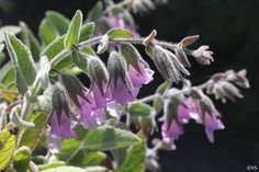 Lepechinia fragrans 'El Tigre' pitcher sage - 4x4, sun or part sun, California Native Plant