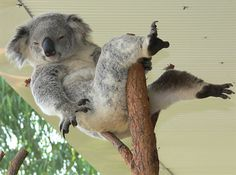 27 Cute and Cuddly Koala Photography on http://naldzgraphics.net