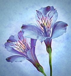 Alstroemeria in Blue, the Peruvian Lilly