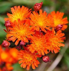 Fox and Cubs - Wild Flower Finder [Pilosella aurantiaca (Fox-and-cubs/Orange Hawkweed/Tawny Hawkweed/Devil's Paintbrush/Grim-the-collier)]