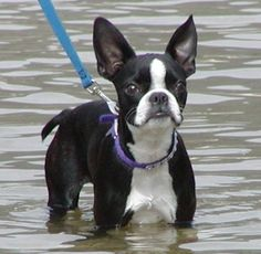 These important reminders should serve you well as awesome Boston Terrier owners...