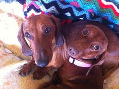 Though dogs spend an average 22 days in BC SPCA shelters, Joey & Wendy have been in care for over 170 days. Click to view the adoption profile of these adorable Dachshunds