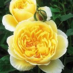 """'Graham Thomas' Probably the most outstanding of all the English Roses. Breathtaking, double blooms of a magnificent shade of yellow with a texture that makes the old rose style. Blooms look almost too perfect to be real. mild tea fragrance. A great bush, vigorous, slender, and upright. Graham Thomas' is sure to be one of the great roses of our time. Loves summer heat.  Petals 30+, Bloom 4"""", Repeat Bloom, Zones 5 - 10 Climber 10' Height: 6-7' X 4' Fragrance: Moderately Fragrant"""