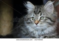 brown puppy of siberian breed, sold on Shutterstock!