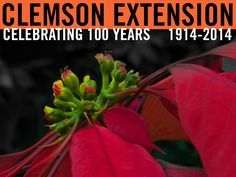 Four tips to pick the best poinsettia...#ClemsonExt100