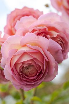Old and English Roses