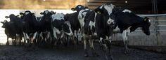 Vacas en una explotación en Ranchos (Buenos Aires).