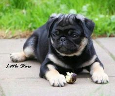 Unusual pug colour