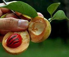 10 seeds-GERMINATION SRI LANKAN NUT meg-Myristica fragrans seeds-Pala Mace Fruit