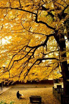 Great Ginkgo tree, Zuio-ji Temple, Niihama, Ehime, Japan