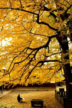 800 year-old ginkgo tree, Niihama, Ehime, Japan 新居浜