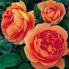 Rosa #ROSE ENGLISH Pat Austin®    #sungarden