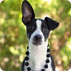 Gilbert, AZ - Dachshund/Jack Russell Terrier Mix. Meet Suzie, a dog for adoption. http://www.adoptapet.com/pet/14106690-gilbert-arizona-dachshund-mix