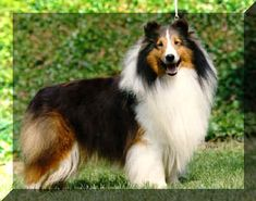 Shetland Sheepdog, love these oodles and oodles. want one soooo bad !!!