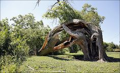 Tree downed by storm may be trail marker from 1800s - Toledo Blade