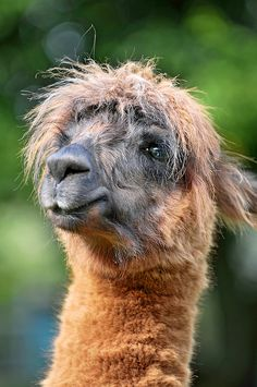 Even the Daily Llama indulges a little too much at Christmas. merry Christmas from his Tiddlyness the Daily Llama. Farm Animals, Animals And Pets, Funny Animals, Cute Animals, Odd Animals, Alpacas, Llama Pictures, Cute Animal Pictures, Primates