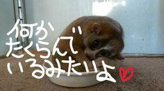 何かたくらんでいるみたいよ。 Slow Loris, Animals, Animales, Animaux, Animais, Lemur, Animal