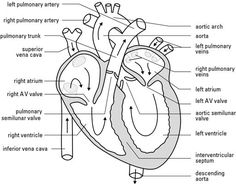 Circulatory system worksheet without labels google search blank heart diagram with answers bhd08 ccuart Image collections