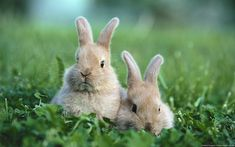 Baby Rabbit Wallpaper Cute Wallpaper mobile Added on , Tagged : at WallDiskPaper Animals And Pets, Baby Animals, Funny Animals, Cute Animals, Nature Animals, Baby Bunnies, Cute Bunny, Bunny Rabbits, Adorable Bunnies