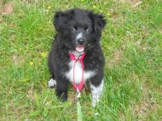 KIP - playful is an adoptable Shetland Sheepdog Sheltie Dog in Lancaster, PA. KIP is a little 4 month old sheltie/kees mix bi-black puppy. He is utd on shots, wormed twice and crate trained. Little ...