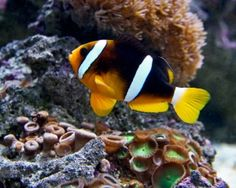 Hong Kong's own Finding Nemo Fish! aka the Clarkes Clownfish is a little beauty native to Hong Kong. It can be found Hoi Ha Wan and Tung Ping Chau Marine Parks.
