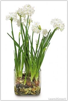 Grow Indoor Bulbs in Water | Forcing Bulbs Above Water: Gardening