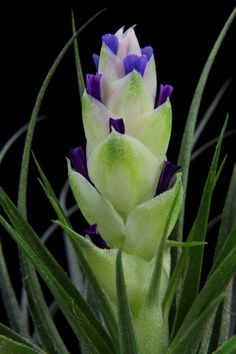 "Plant Oddities-Tillandsia stricta-""Silver Star"""