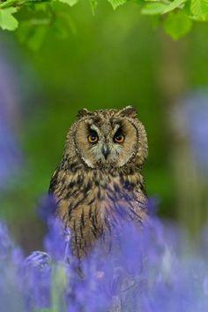 long-eared owl in the bluebells #birds #birdsofprey