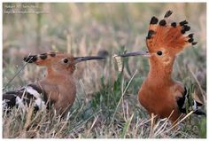 Birdwatching and Photography - Refuge LPO: Huppe d'Afrique Upupa africana  African Hoopoe
