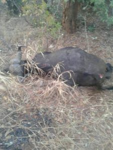 Four Lions Bus In Accident With Buffalos - http://zimbabwe-consolidated-news.com/2017/08/02/four-lions-bus-in-accident-with-buffalos/