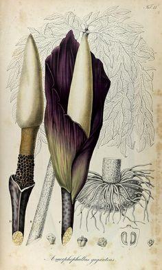 Rumphia, sive, commentationes botanicæ imprimis de plantis Indiæ Orientalis | Lugduni Batavorum (Leiden, the Netherlands) 1835-48