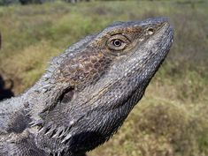 The Lifespan of a Bearded Dragon Depends on Proper Care Eastern Bearded Dragon, Bearded Dragon Diet, 55 Gallon Aquarium, Deadly Plants, Desert Environment, Household Plants, How To Train Dragon, Habitats, Creatures