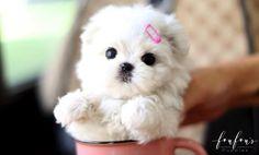 Micro Maltese, Teacup Maltese For Sale, Micro Teacup Puppies, Maltipoo Puppies For Sale, Cute Baby Puppies, Maltese Dogs, Little Puppies, Baby Dogs, Teacup Maltese Puppies