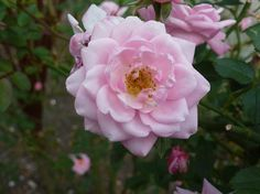 Flowers of Washington State | The Old Garden Rose Blog